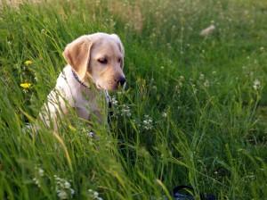 Perro-hierba-ehrlichiosis-garrapatas-E.canis-Cojeras-vomitos-bacteria-infeccion-desparasita