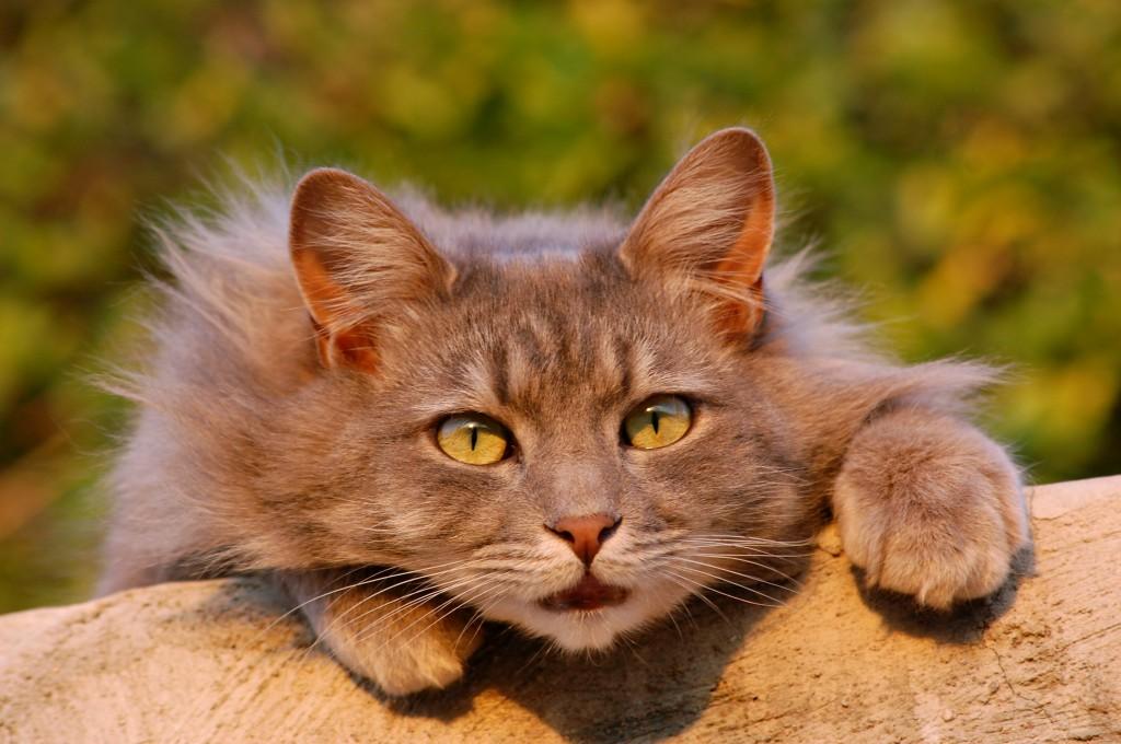 Cistitis, patologia urinaria felina,