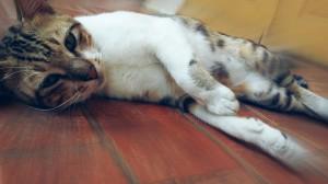 gato-toxoplasmosis-riesgo-abanadono-feto-enfermedad-zoonosis-problema