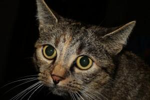 gatos y toxoplasma