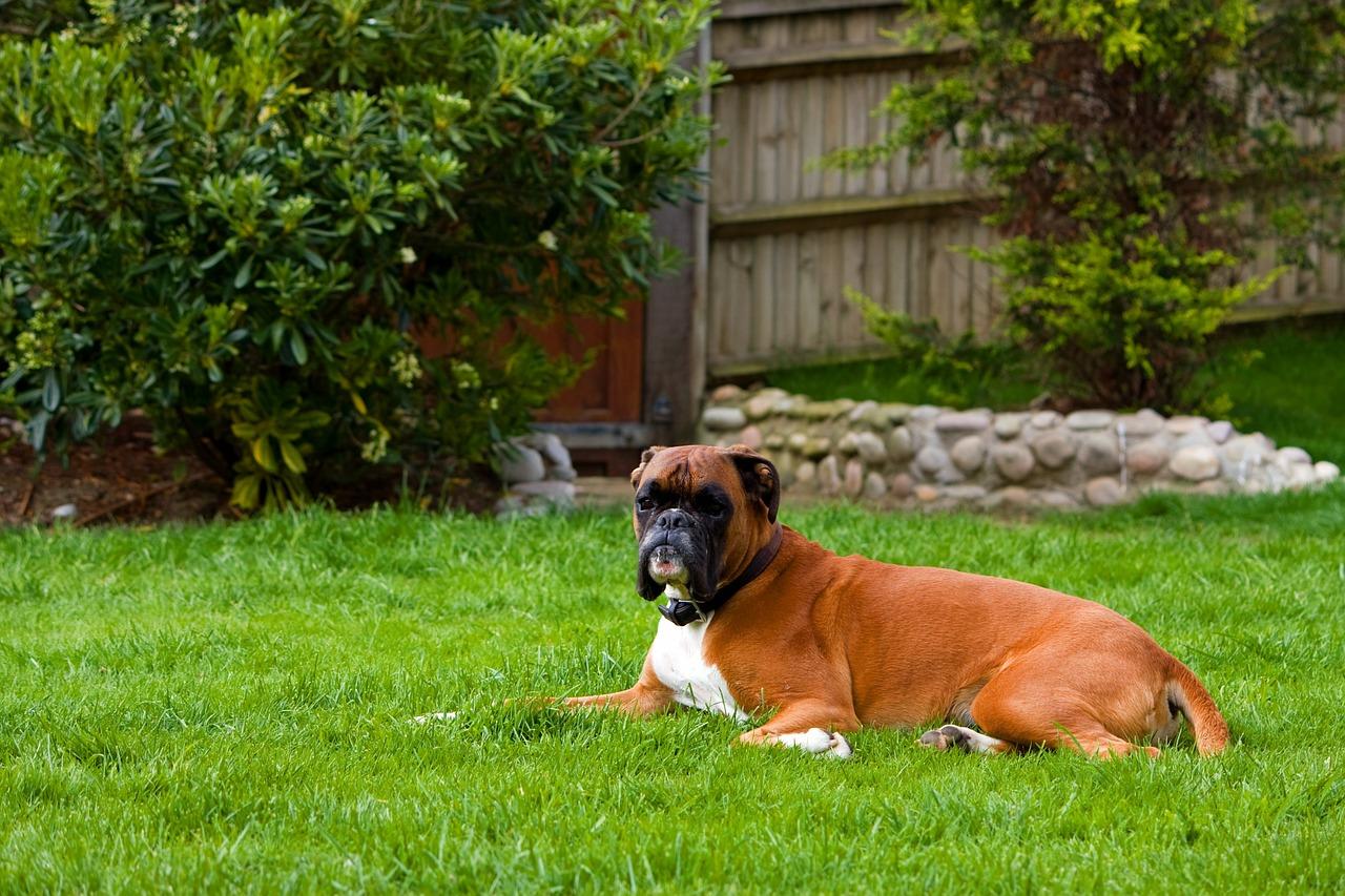 boxer, raza de perro braquicefálico