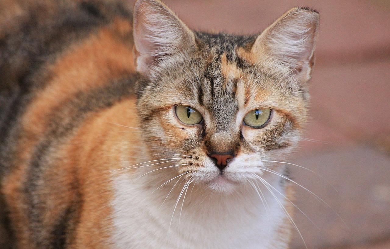 los gatos mayores pueden padecer hipertiroidismo