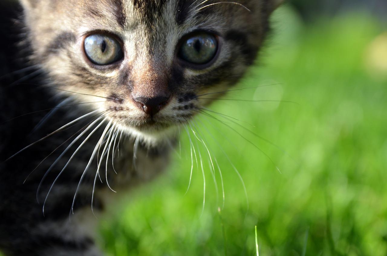 cat-FIP-enfermedad