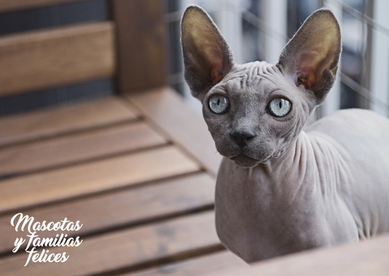 no tatuaje gato sphynx