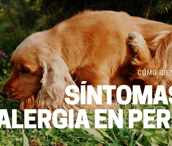 Como saber si tu perro tiene alergia
