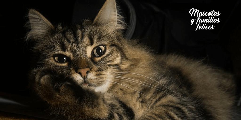 cuida a tu gato de la otitis